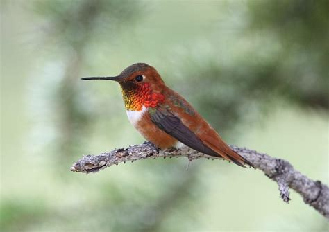 rufous hummingbird rufous hummingbird archives birds calgary