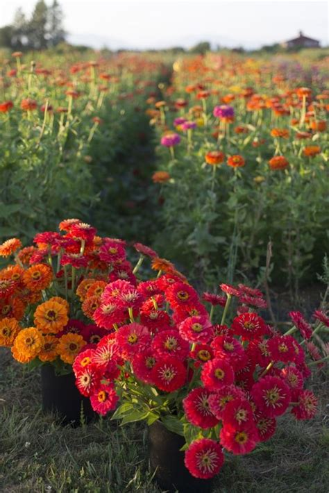 Growing Zinnias One Of My Favorite Summer Flowers They Zinnias Flower Garden