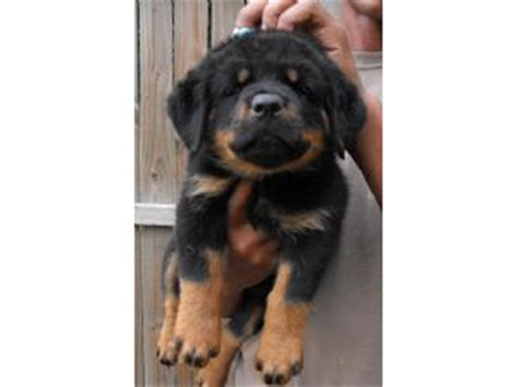 rottweiler puppies for sale ga rottweiler puppies for sale