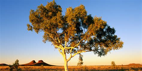 Gold Tree - gold growing on trees hints at buried treasure