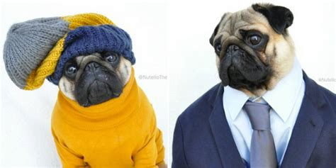 best pugs nutello the pug may be the best dressed on the huffpost uk