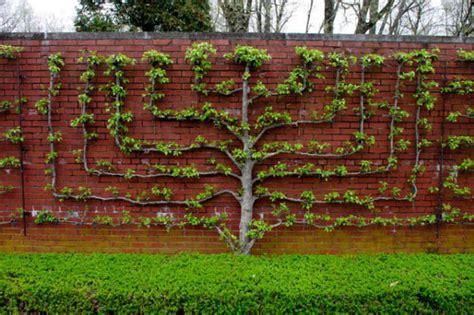 Climbing Rose Plants For Sale - l esprit d espalier a cunning plot