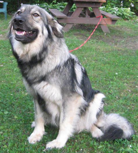 american dogs alsatian breed breeds
