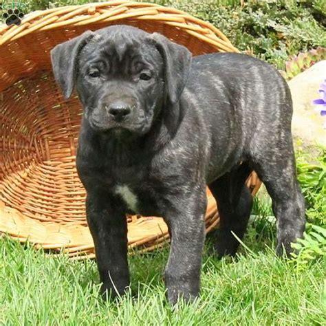 presa canario puppies for sale in pa saffy presa canario puppy for sale in pennsylvania