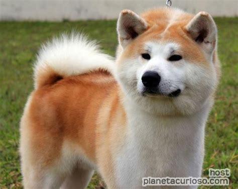 imagenes perros japoneses nombres de perros japoneses taringa
