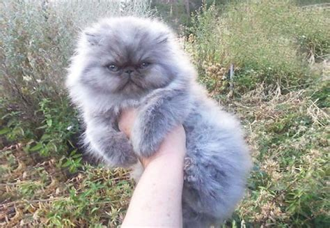 20+ Of The Fluffiest Cats In The World | Bored Panda Fluffiest Kittens In The World