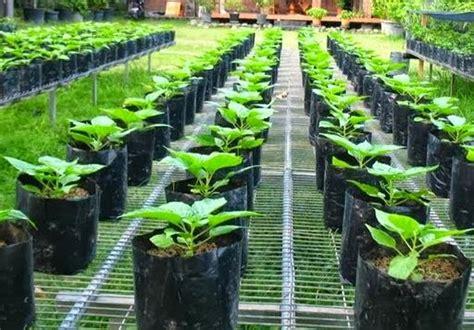 Benih Sayuran Tanam Sayuran teknik budidaya sayuran dalam pot