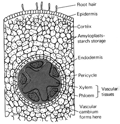 root structure diagram image gallery root structure