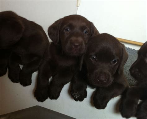 lab puppies for sale in nh new hshire black labrador retriever dogs puppies for sale rachael edwards