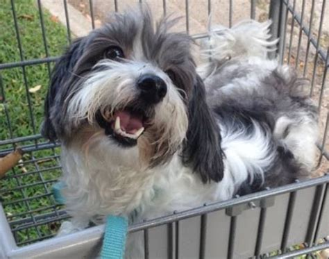 adoption pittsburgh pa lhasa apso shih tzu mix for adoption in pittsburgh pa adopt rennie today
