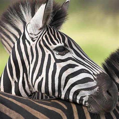 zebra stripes wallpaper wallpapersafari