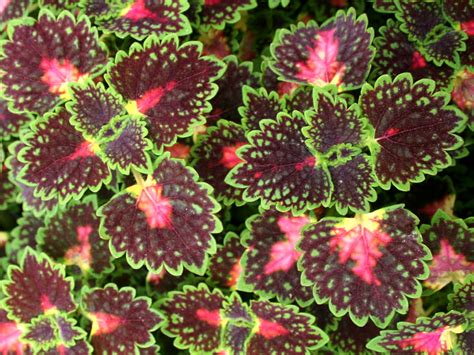 shade loving coleus can color your garden with its showy leaves in combinations of pink green