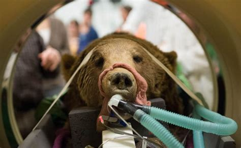 Colorado State Veterinary School Dvm Mba by Marley The Grizzly Was Kept In A Pit That Legs