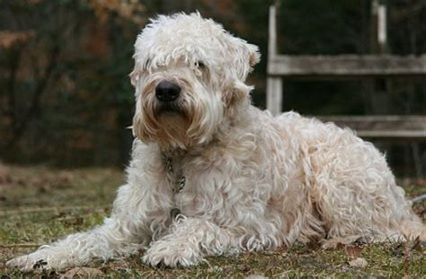 soft coat wheaten terrier puppies soft coated wheaten terriers advice you can trust