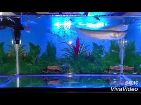 Ikan Arwana Brazil arwana silver brazil keren bikin greget