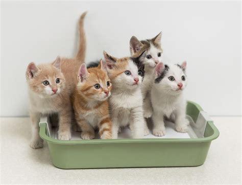 Litter Of Kitties by Shojai S