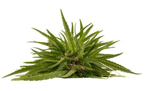 fiore di canapa fior di canapa alimenti bio a sant ambrogio di valpolicella