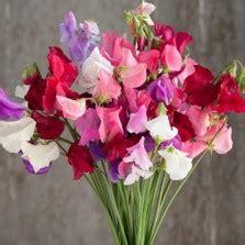 Benih Bibit Biji Bunga Sweet Pea Purple benih mawar putih white