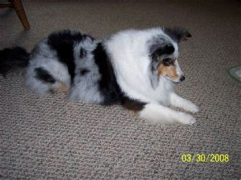 blue merle sheltie puppies for sale shetland sheepdog puppies for sale