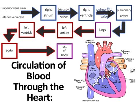 blood flow diagram of the file circulation of blood through the jpg