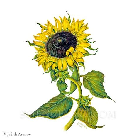 sunflower i helianthus annuus illustration science art com
