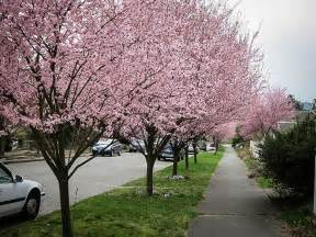 Pruning Flowering Shrubs - newport flowering plum for sale online the tree center