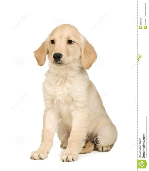3 month golden retriever golden retriever 3 months royalty free stock photo image 6609395