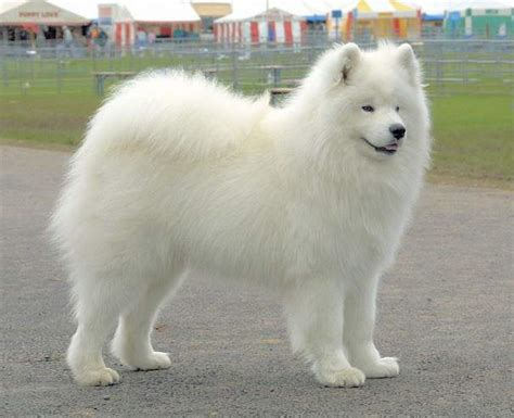 white puppy breeds top 5 most beautiful white breeds breed and top pics