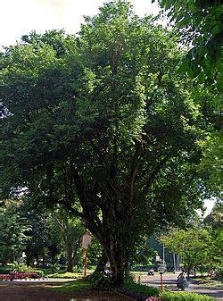 dalbergia latifolia wikispecies