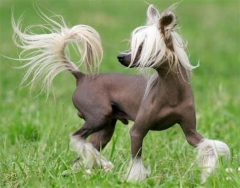 Chinese Crested dog breed information, pictures and facts