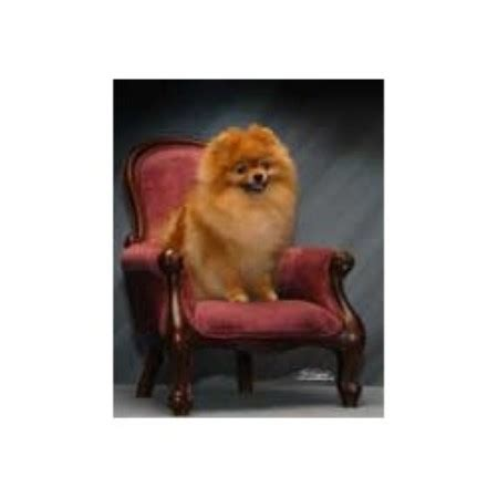 pomeranian puppies for sale in pittsburgh pa carleez pomeranians pomeranian breeder in pittsburgh pennsylvania listing id 12347