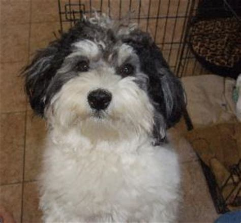 havanese and bichon mix havachon havanese bichon frise mix info temperament pictures