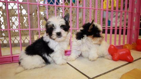 biewer yorkie for sale in ga cuddly terrier puppies for sale in at puppies for sale local breeders