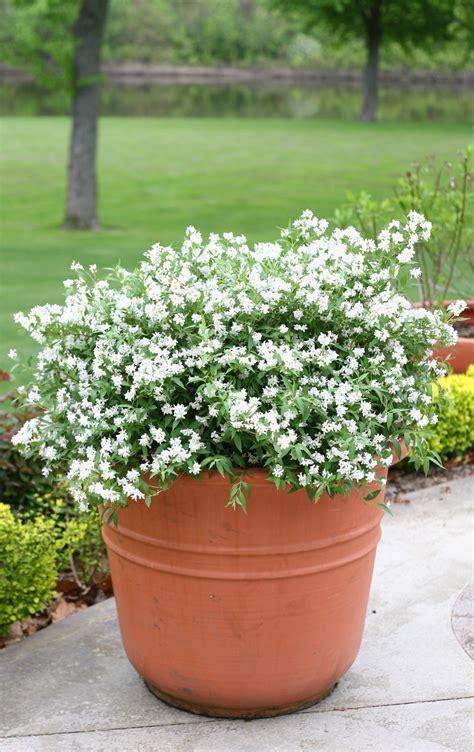 yuki snowflake deutzia  shrubs  containers