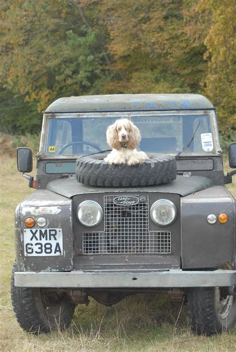 land rover setter dog watches land rovers and dogs on pinterest