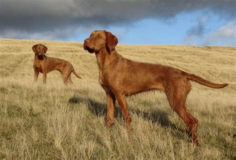 wirehaired vizsla puppies wirehaired vizsla breeders within the united states available puppies siggy s paradise