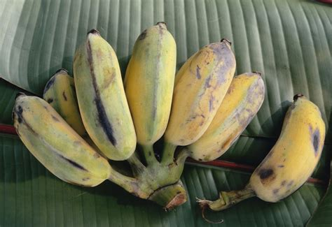 6 types of bananas yummy everyday daily paper