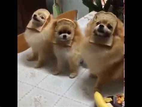 inbred puppies these poor inbred dogs