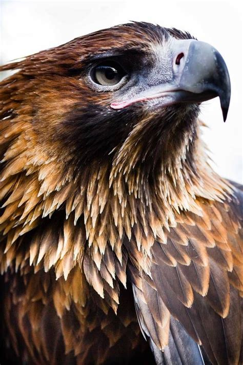 Australian Wedge Tailed Eagle Gives You Some Ideas Of The - 1319 best wings images on beautiful birds