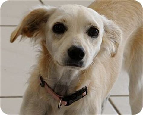 golden retriever mix that stay small corona ca golden retriever whippet mix meet deacon a puppy for adoption