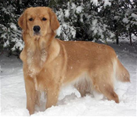 toronto golden retriever breeders golden retriever breeders canada s guide to dogs golden retrievers