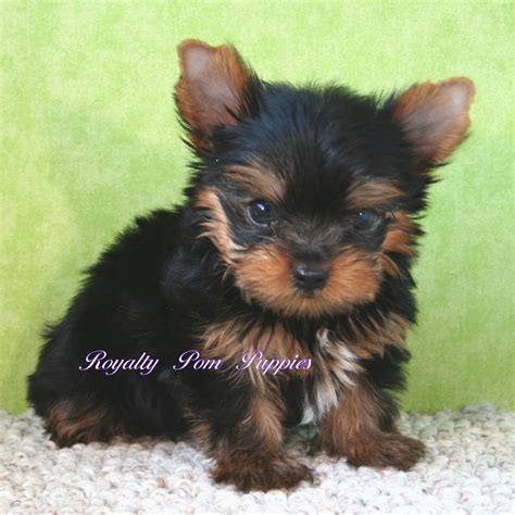 yorkie pomeranian puppies puppies placed royalty yorkie or pomeranian puppies louisiana usa