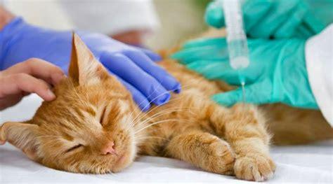 katzen impfen wann katzen sollen wegen katzenhaarallergie geimpft werden