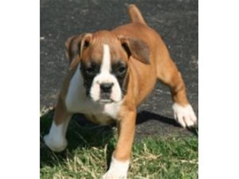 boxer puppies for sale tx boxer puppies in