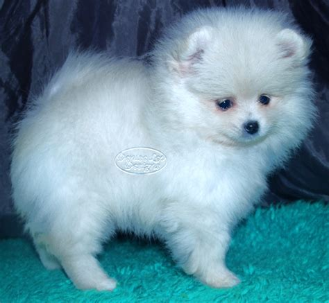 how to potty a pomeranian toilet your pomeranian puppy pomeranian information care