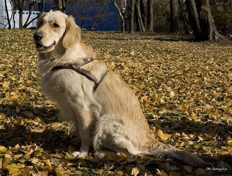 golden comforts golden retrievers travel from chicago to newtown to give