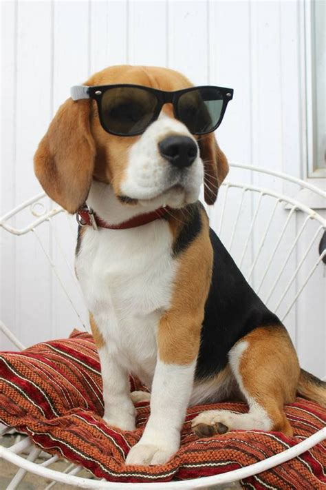 buy beagle puppy best 25 beagles ideas on beagle puppy beagle puppies and beagles