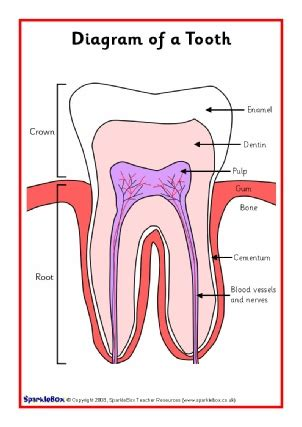 teeth diagram ks2 will science bibliography other bibliographies