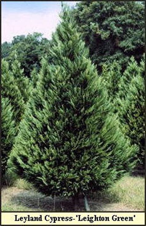 what type of christmas tree smells the best tree varieties photos and information to choose the best tree