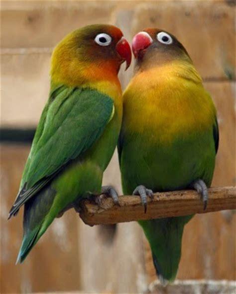 Multi Bird Pakan Burung Parrot harga burung lovebird 2016 stabil peluang untuk usaha